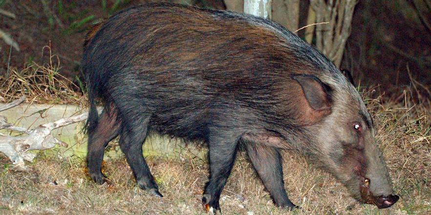 The bushpig (Potamochoerus larvatus)
