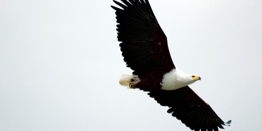 Fish_Eagle-1200x600