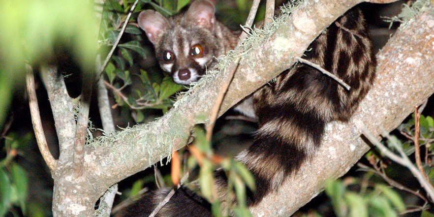 Spotted Cape Genet-1200x600